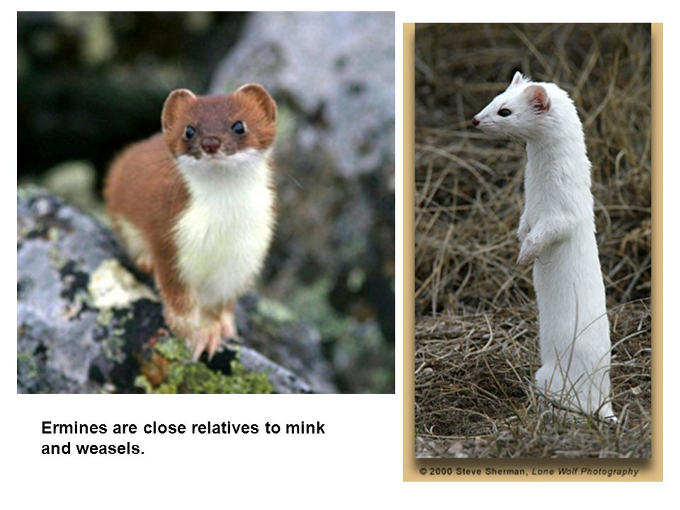 Ermines are close relatives to mink and weasels.