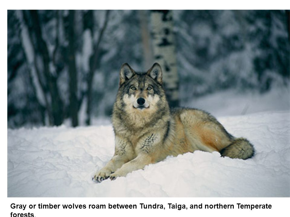 Gray or timber wolves roam between Tundra, Taiga, and northern Temperate forests.