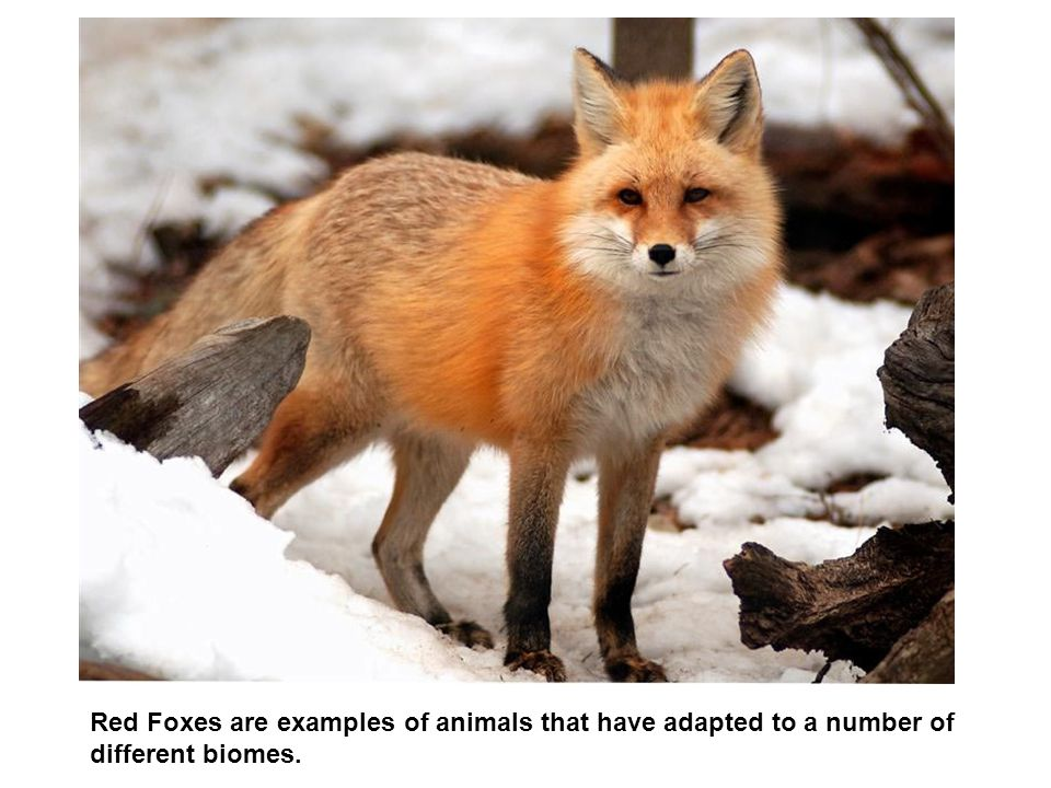 Red Foxes are examples of animals that have adapted to a number of different biomes.