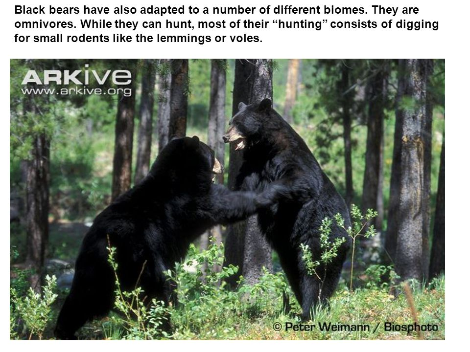Black bears have also adapted to a number of different biomes