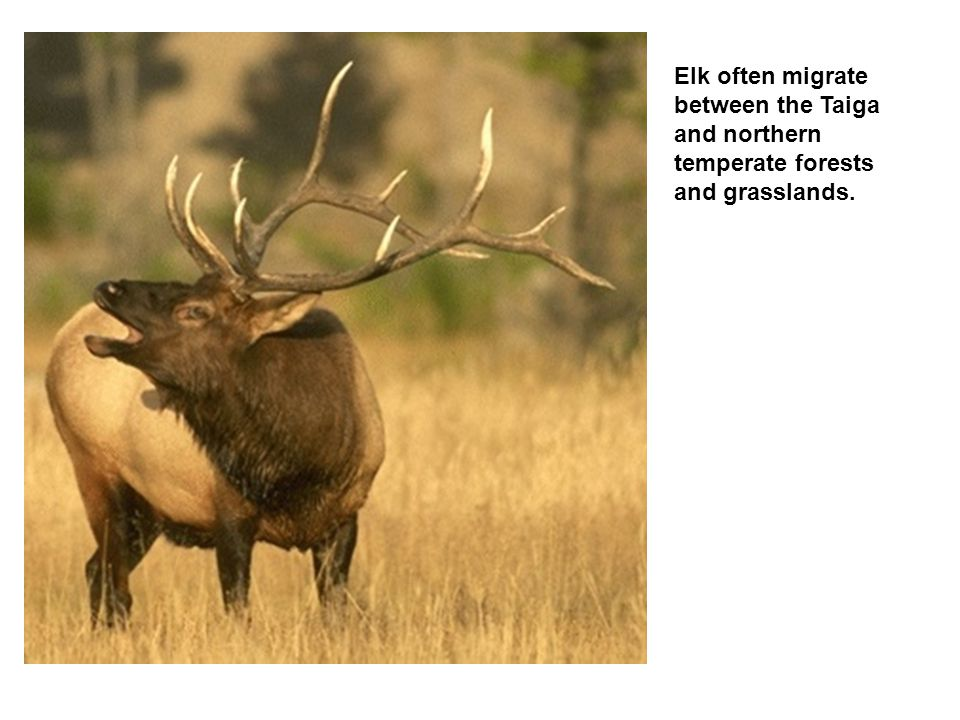 Elk often migrate between the Taiga and northern temperate forests and grasslands.