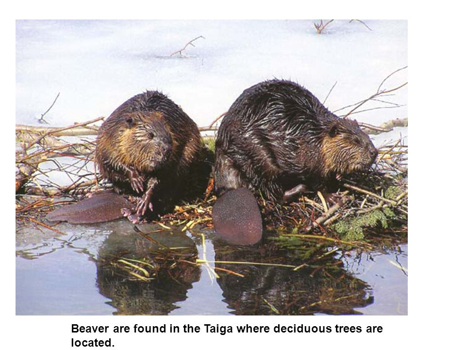 Beaver are found in the Taiga where deciduous trees are located.