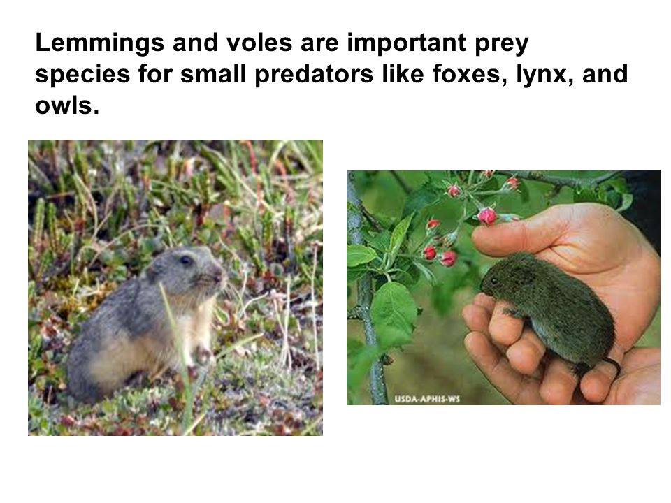 Lemmings and voles are important prey species for small predators like foxes, lynx, and owls.
