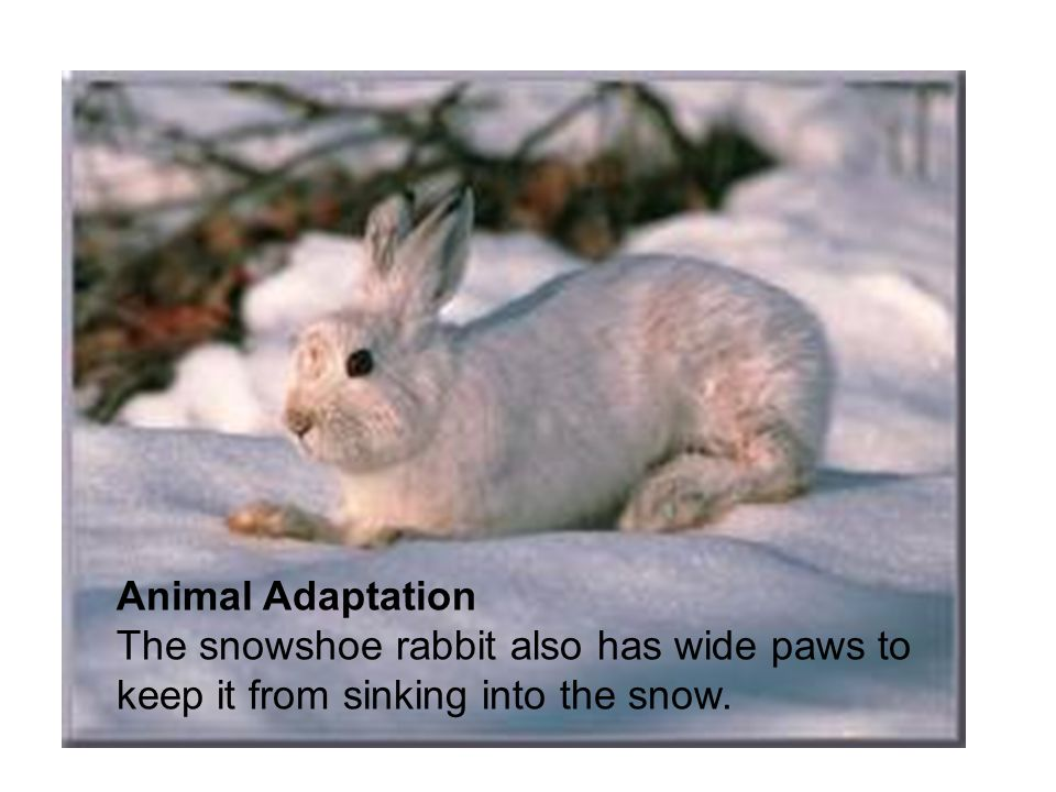 Animal Adaptation The snowshoe rabbit also has wide paws to keep it from sinking into the snow.