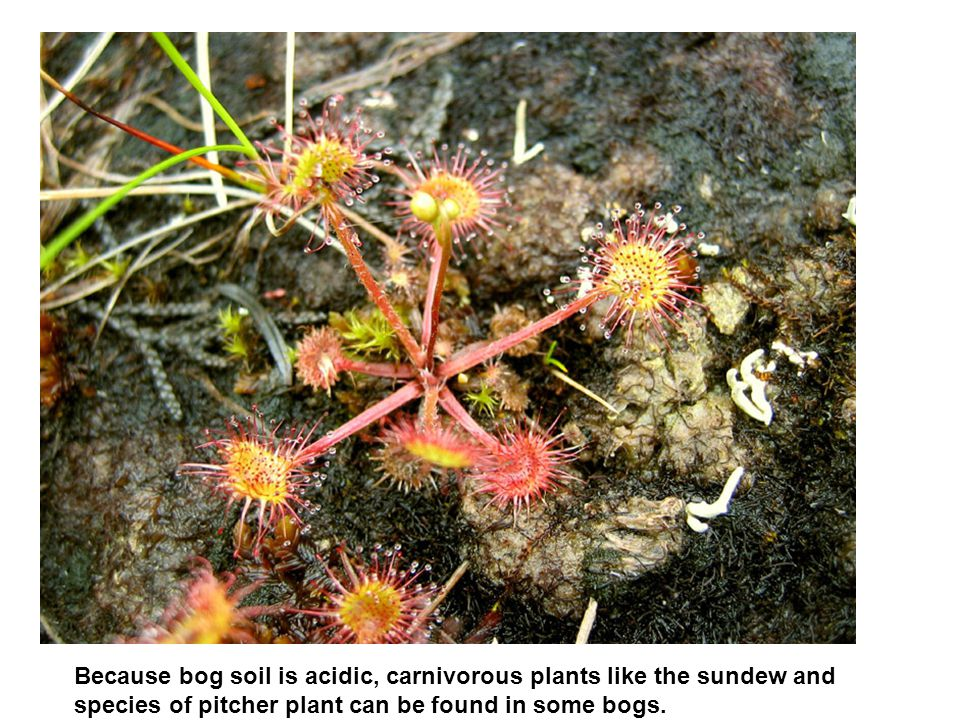 Because bog soil is acidic, carnivorous plants like the sundew and species of pitcher plant can be found in some bogs.