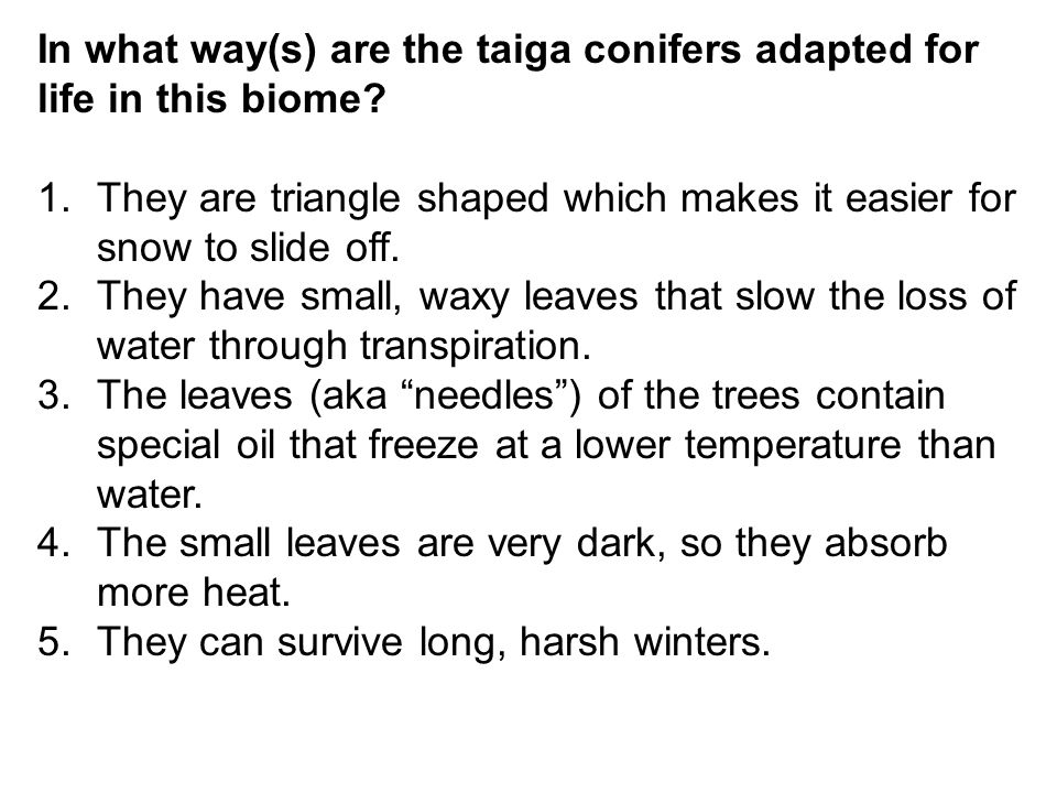 In what way(s) are the taiga conifers adapted for life in this biome