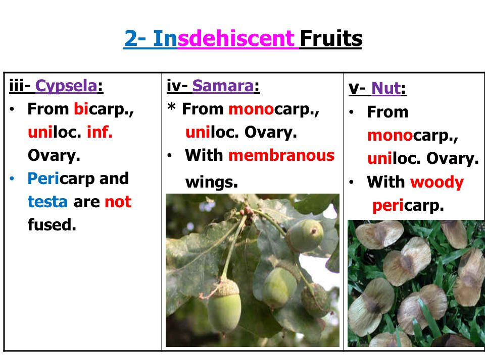 2- Insdehiscent Fruits v- Nut: iii- Cypsela: From bicarp.,