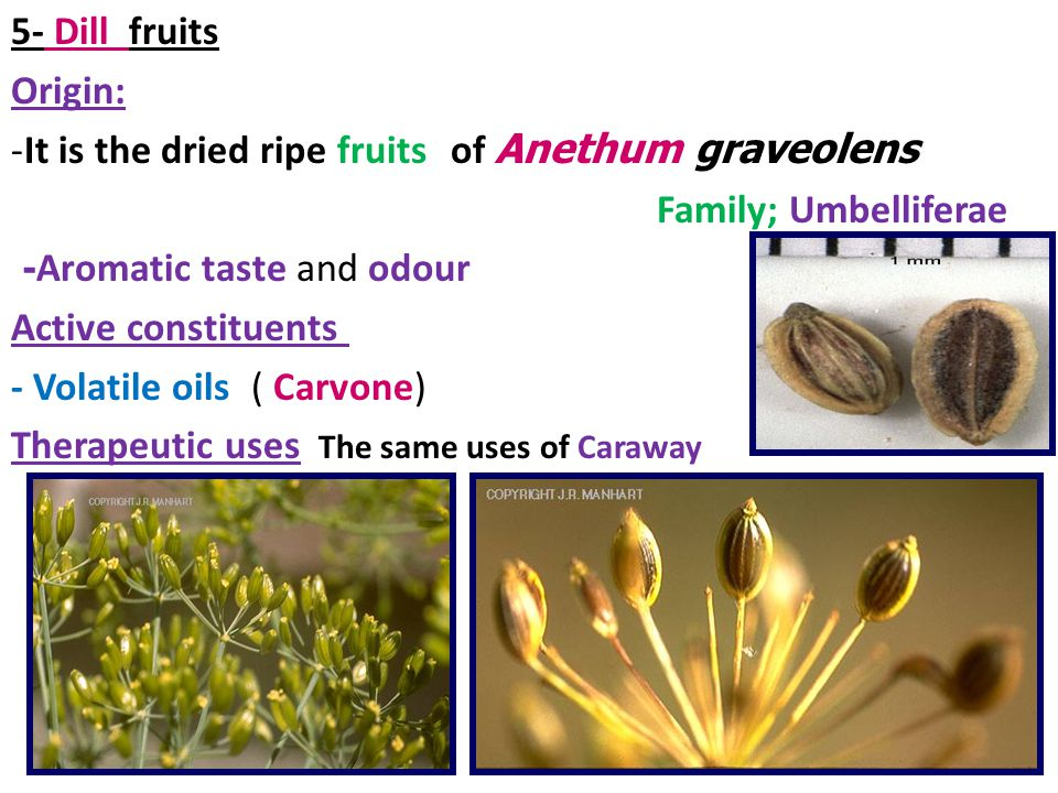 5- Dill fruits Origin: It is the dried ripe fruits of Anethum graveolens. Family; Umbelliferae.