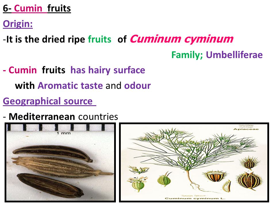 6- Cumin fruits Origin: It is the dried ripe fruits of Cuminum cyminum. Family; Umbelliferae. - Cumin fruits has hairy surface.