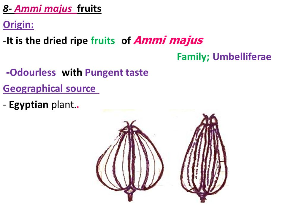 8- Ammi majus fruits Origin: It is the dried ripe fruits of Ammi majus. Family; Umbelliferae. - Odourless with Pungent taste.