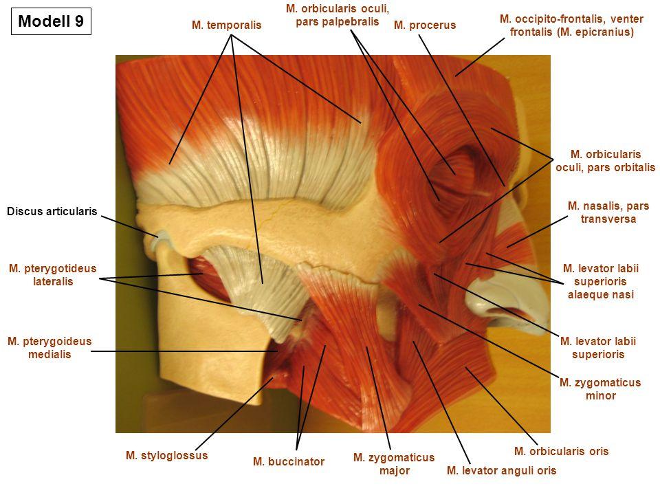 Modell 9 M Orbicularis Oculi Pars Palpebralis Ppt Video Online