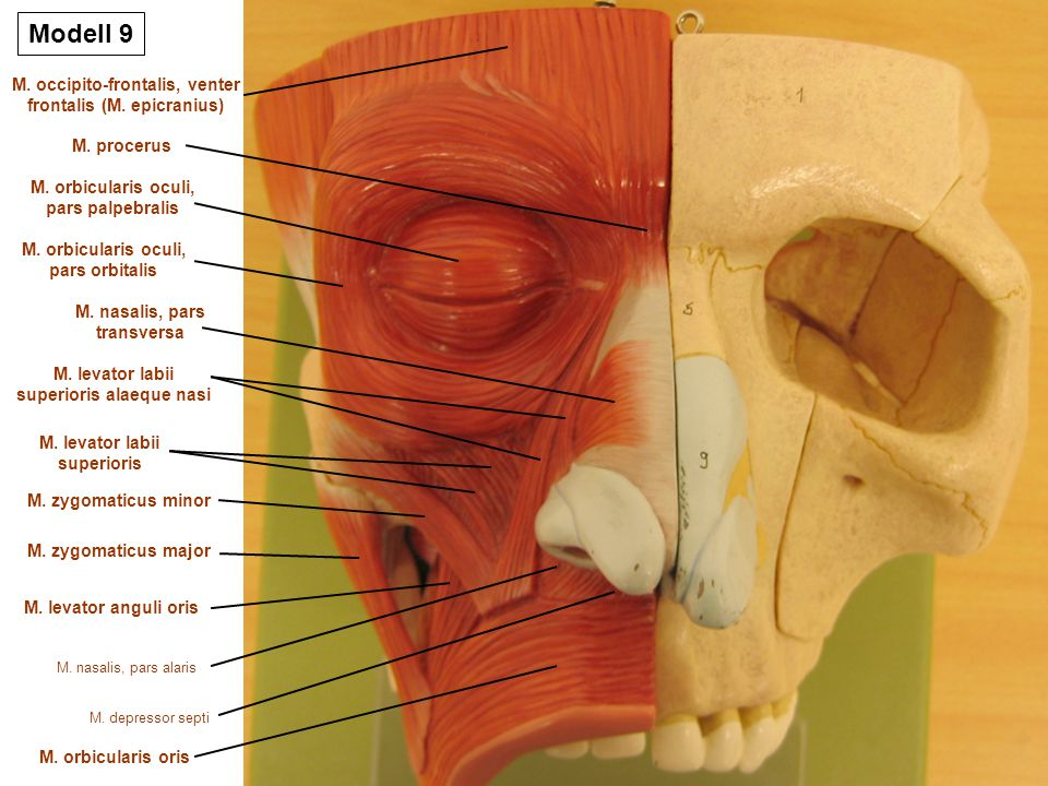 Groß Orbicularis Oculi Ideen - Menschliche Anatomie Bilder ...