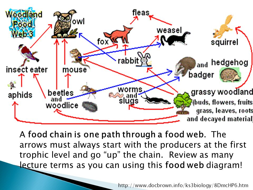 How Many Trophic Levels Can There Be Food Web