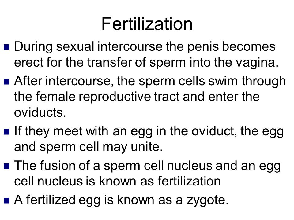 Fertilization During sexual intercourse the penis becomes erect for the transfer of sperm into the vagina.