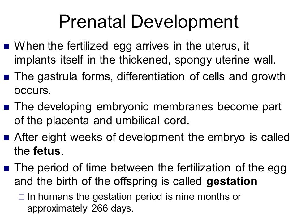 Prenatal Development When the fertilized egg arrives in the uterus, it implants itself in the thickened, spongy uterine wall.