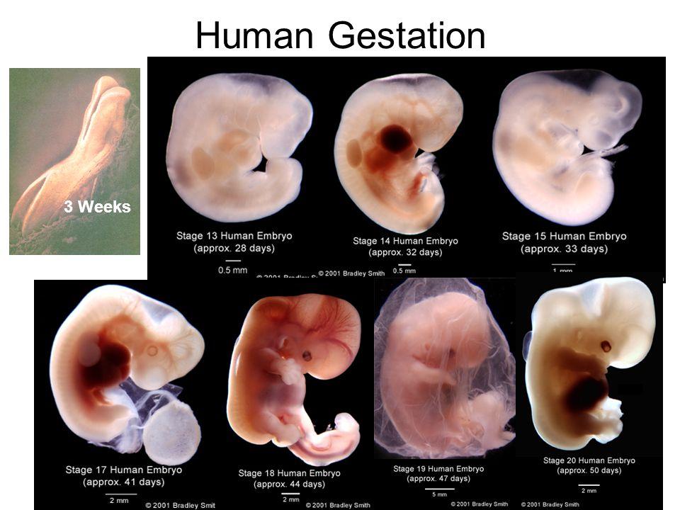 Human Gestation 3 Weeks