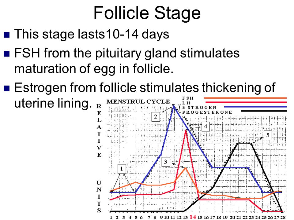 Follicle Stage This stage lasts10-14 days