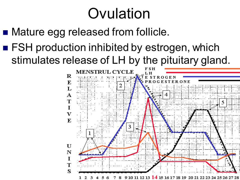 Ovulation Mature egg released from follicle.