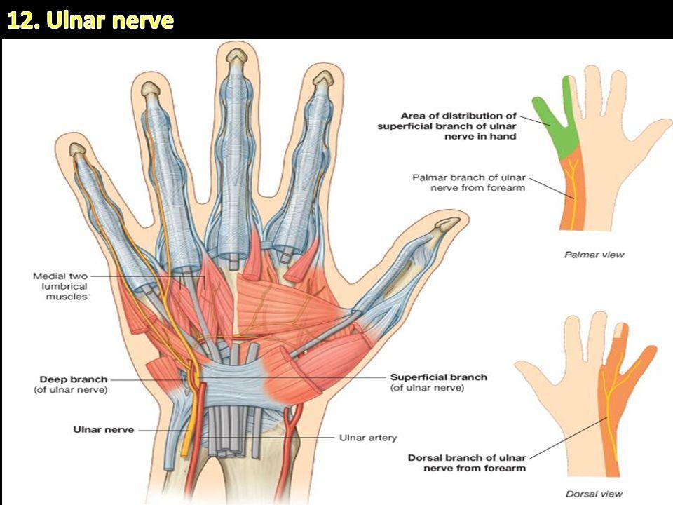 Ulnar artery anatomy