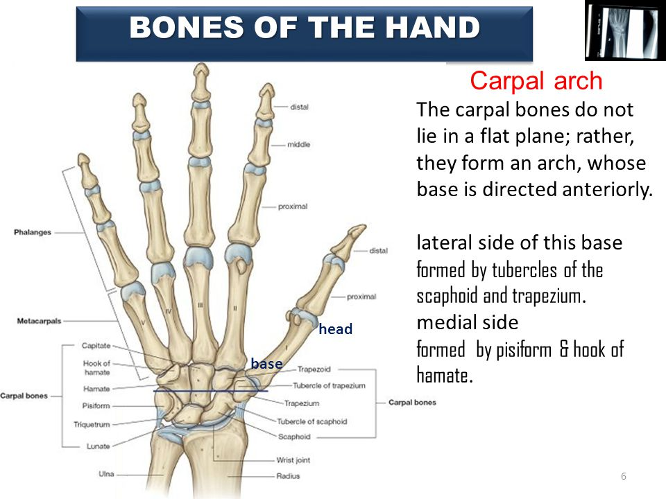 Beautiful Carpal Bones Of Hand Sketch - Anatomy And Physiology ...