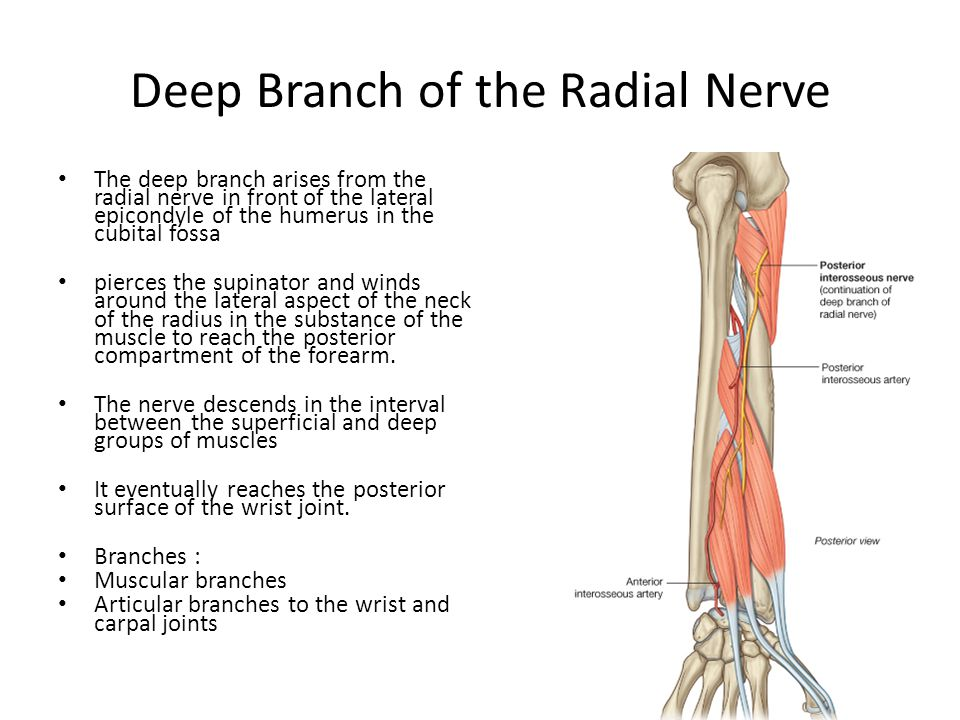 The Forearm Ppt Video Online Download