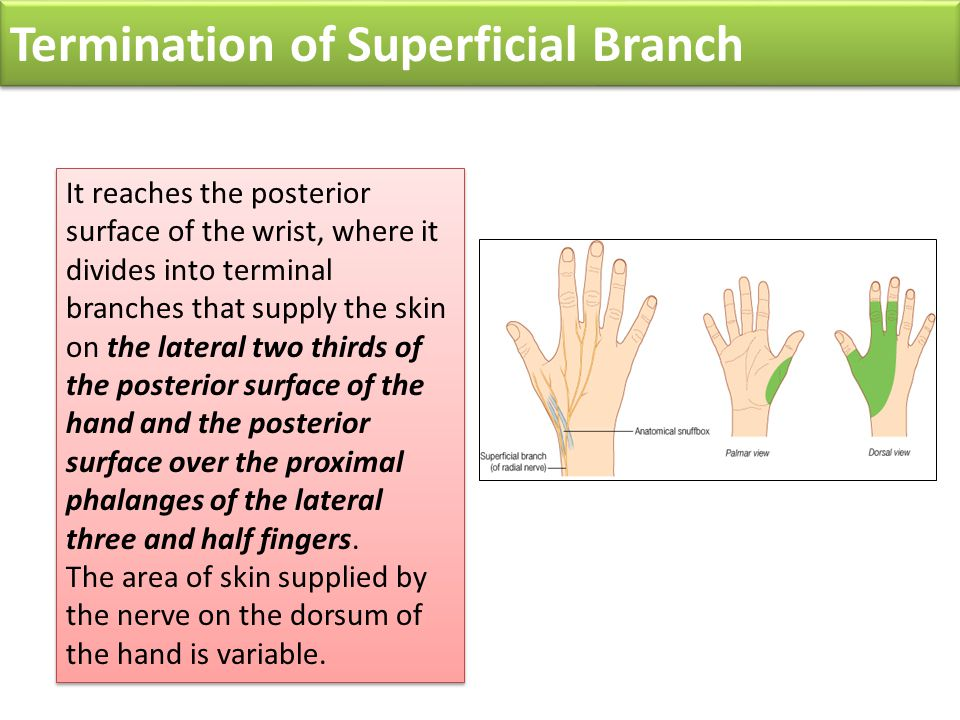Termination of Superficial Branch