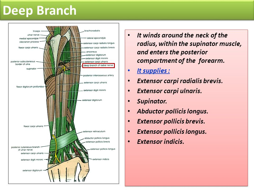 Deep Branch It winds around the neck of the radius, within the supinator muscle, and enters the posterior compartment of the forearm.