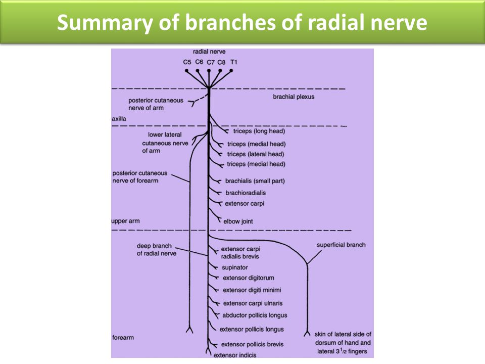 Summary of branches of radial nerve