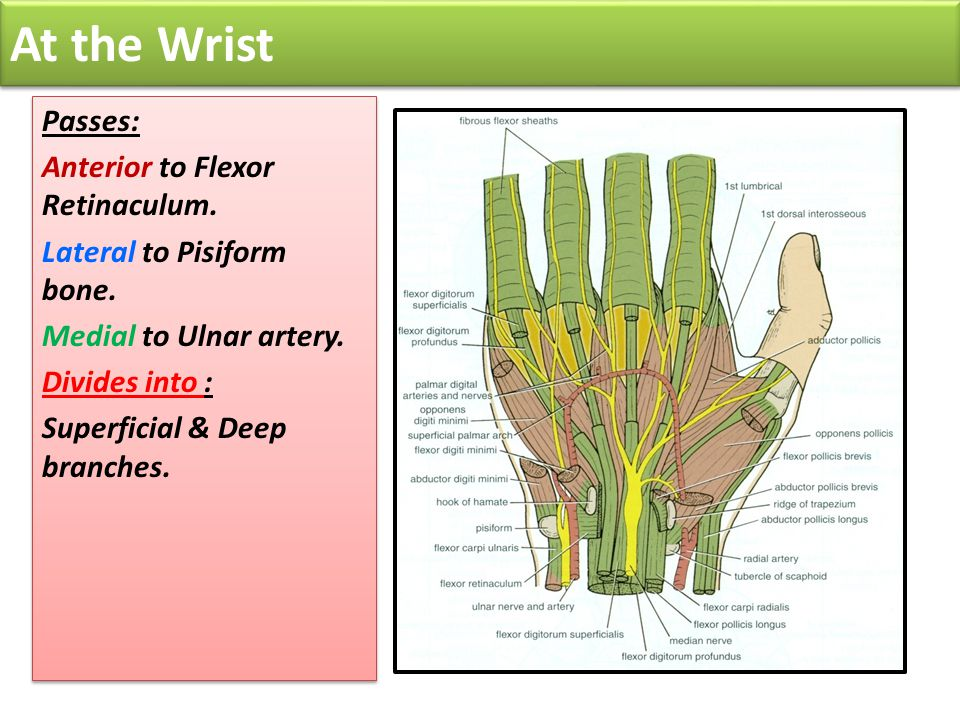At the Wrist Passes: Anterior to Flexor Retinaculum.