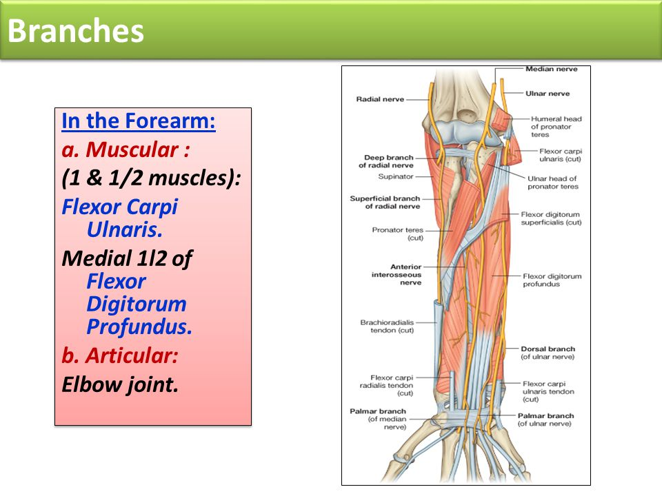 Branches In the Forearm: a. Muscular : (1 & 1/2 muscles):