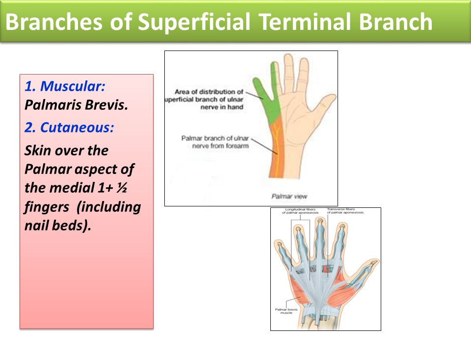 Branches of Superficial Terminal Branch