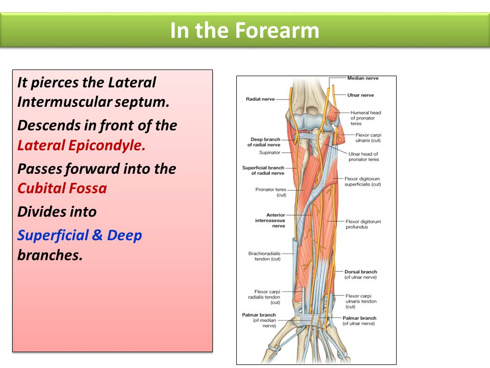 In the Forearm It pierces the Lateral Intermuscular septum.