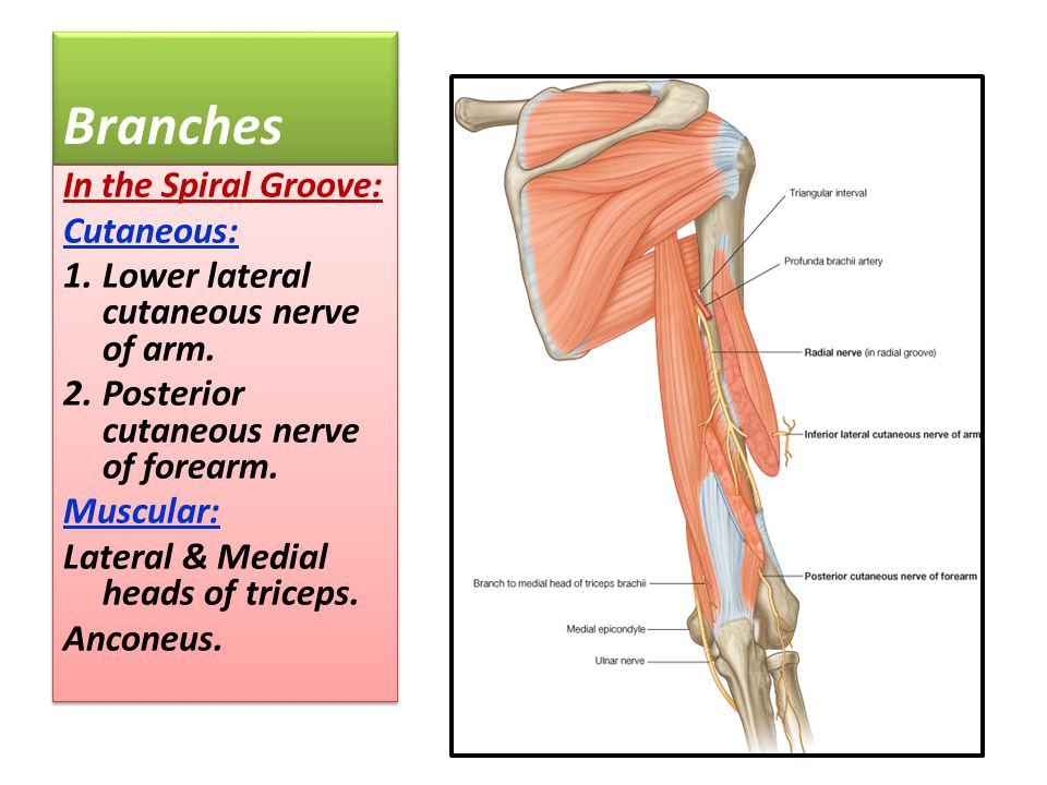 Branches In the Spiral Groove: Cutaneous: