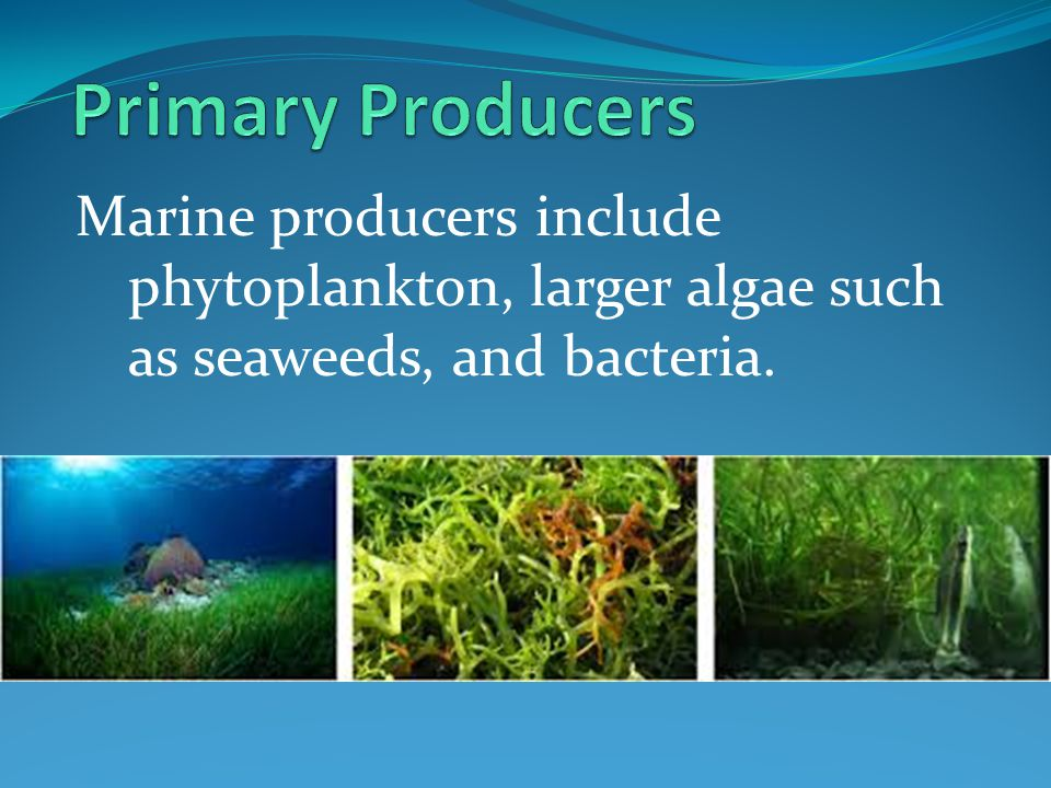 Primary Producers Marine producers include phytoplankton, larger algae such as seaweeds, and bacteria.