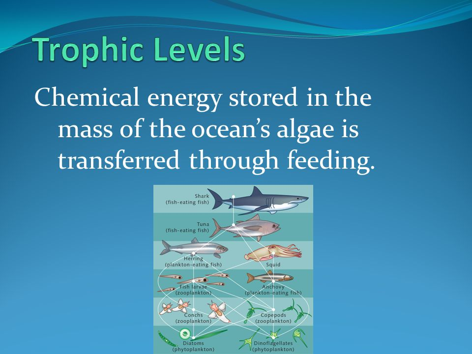 Trophic Levels Chemical energy stored in the mass of the ocean's algae is transferred through feeding.