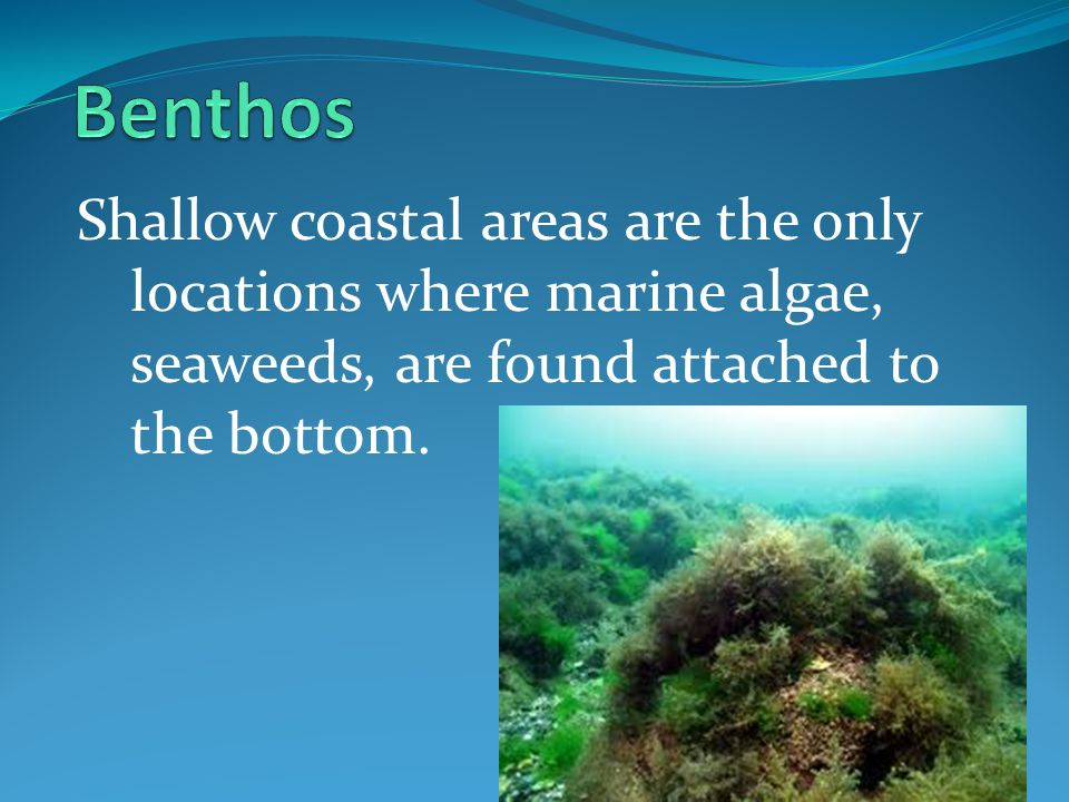 Benthos Shallow coastal areas are the only locations where marine algae, seaweeds, are found attached to the bottom.