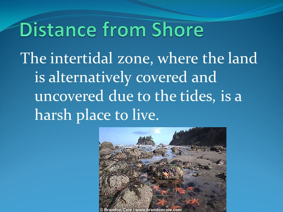 Distance from Shore The intertidal zone, where the land is alternatively covered and uncovered due to the tides, is a harsh place to live.