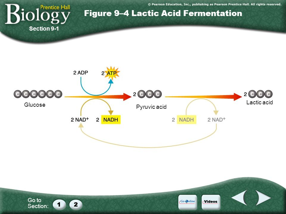 Figure 9–4 Lactic Acid Fermentation