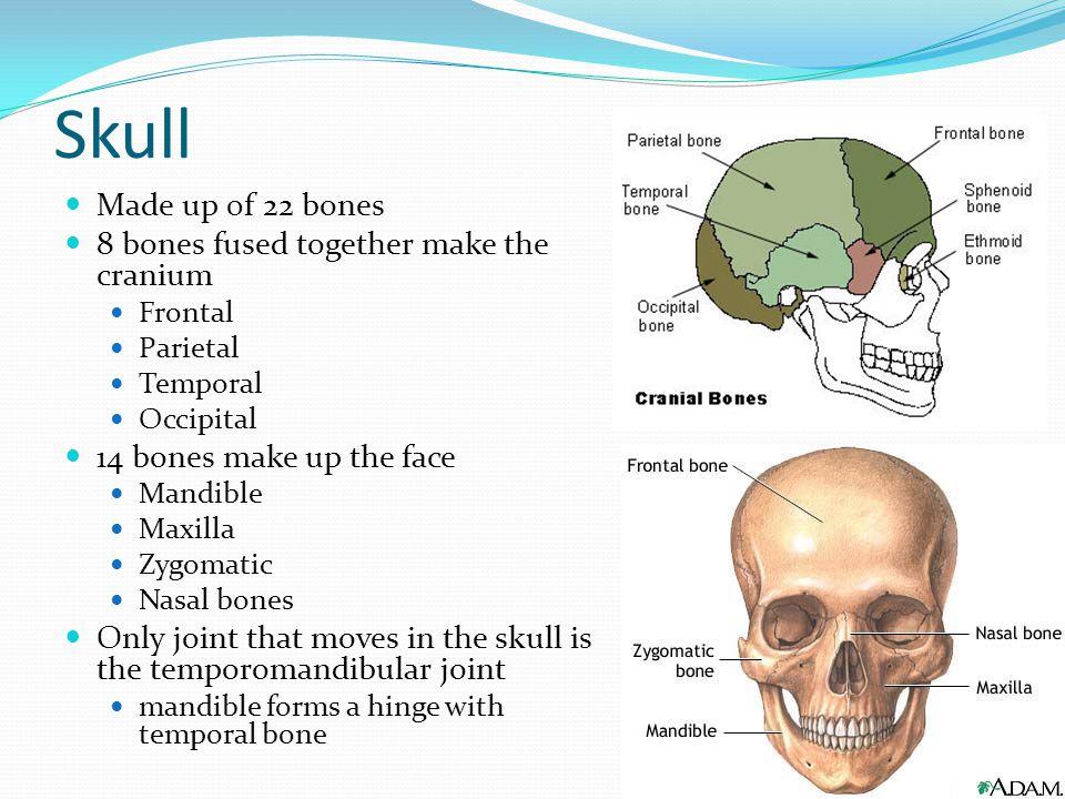 Skeletal System. - ppt video online download | 960 x 720 jpeg 108kB