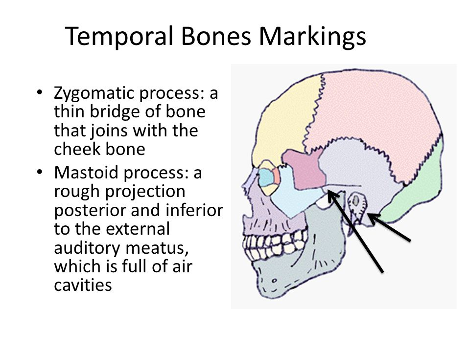 Axial Skeleton Cranium. - ppt video online download
