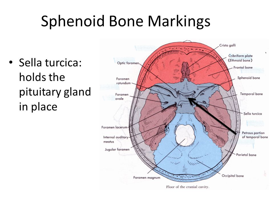 Sphenoid Bone Markings on where are your pancreas located