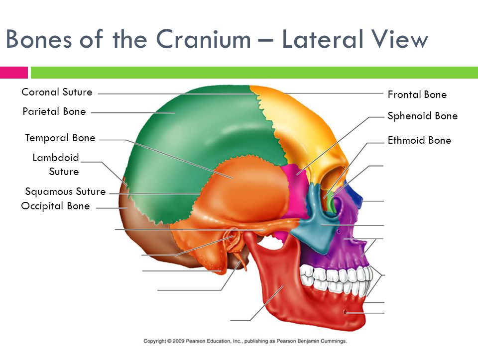 the skeletal system focus on the skull. - ppt video online download, Human Body