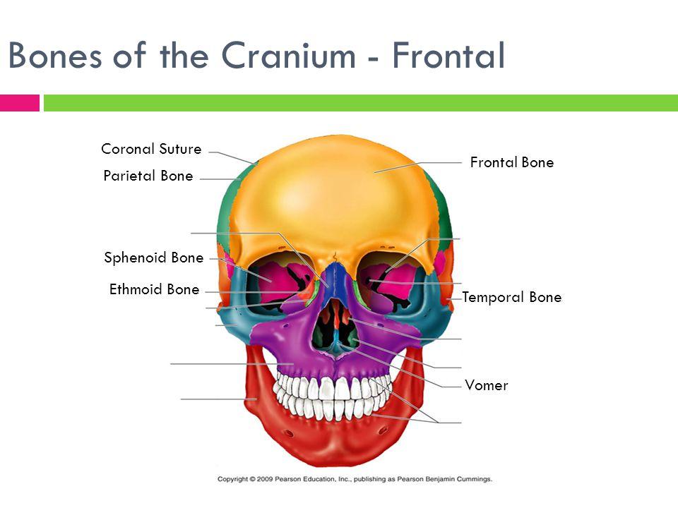 The Skeletal System Focus on the Skull. - ppt video online download