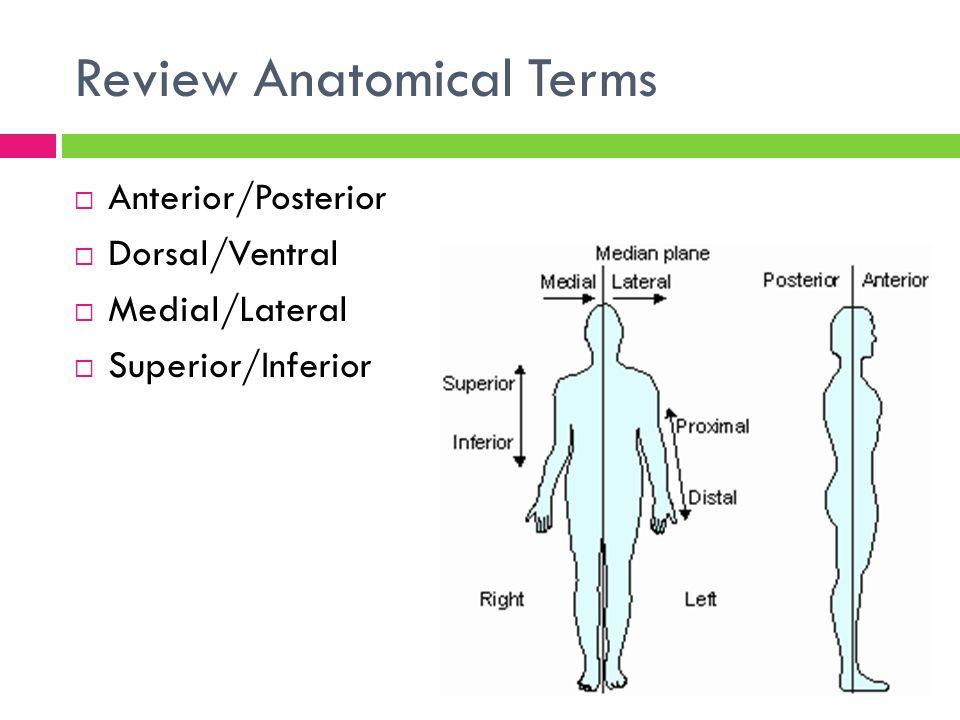 Anterior posterior anatomy
