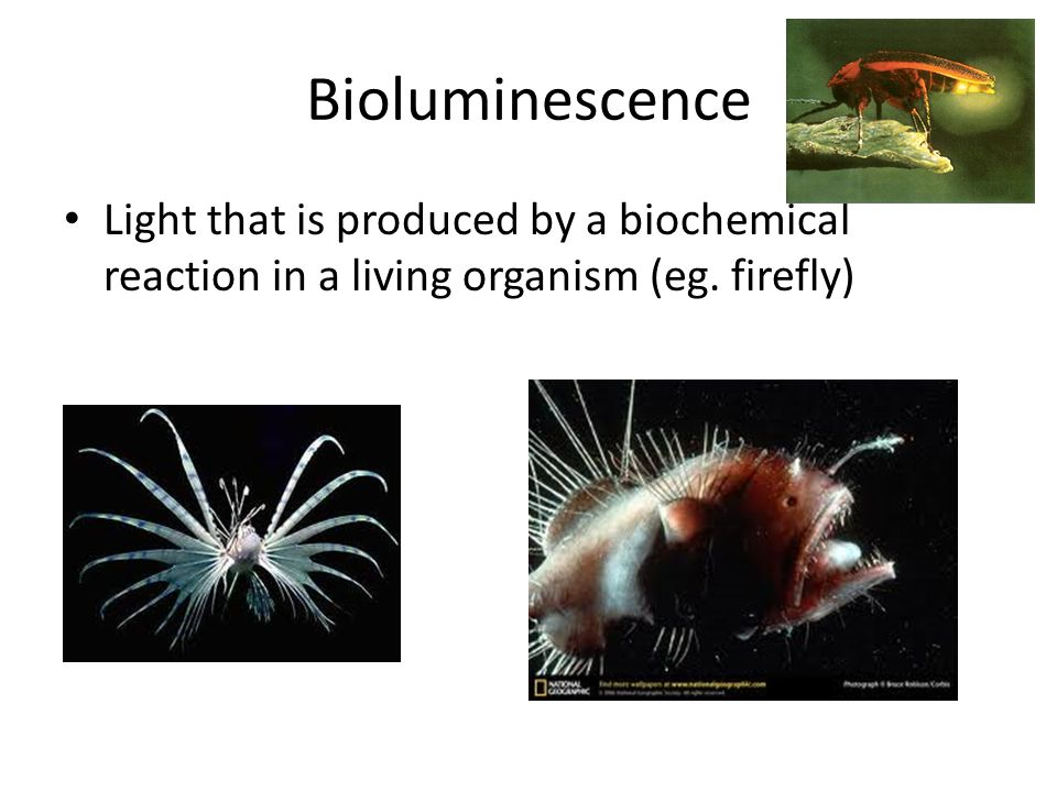 Bioluminescence Light that is produced by a biochemical reaction in a living organism (eg. firefly)