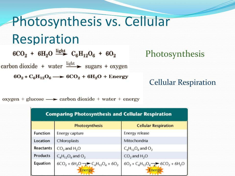 cellular respiration vs photosynthesis essay Photosynthesis & cellular respiration are the main pathways of energy flow in living things photosynthesis is a process by which plants and some other organisms convert, light energy from.