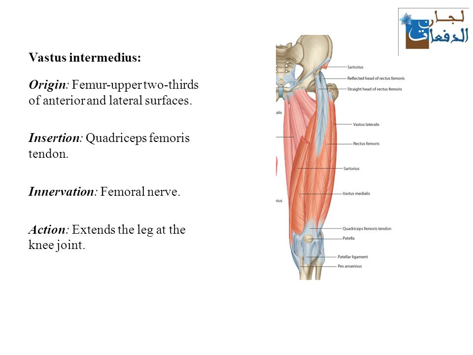 the thigh: muscles lecture ppt download, Muscles