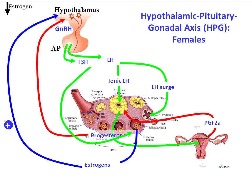 gonadal sex hormones Gonads the gonads  male sex hormones, as a group, are called androgens the principal androgen is testosterone, which is secreted by the testes.