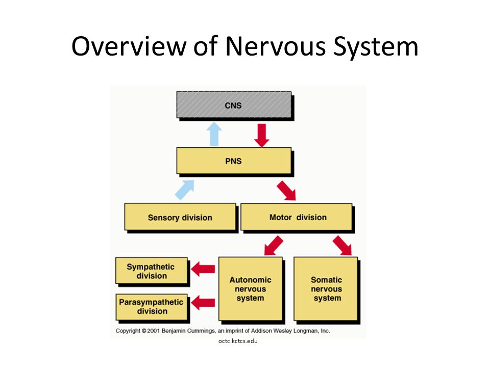 Motor division of the nervous system for General motors parts division