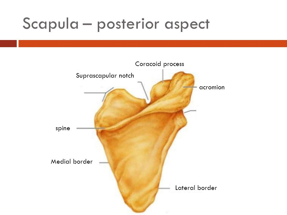 Focus on the Pectoral Girdle - ppt video online download